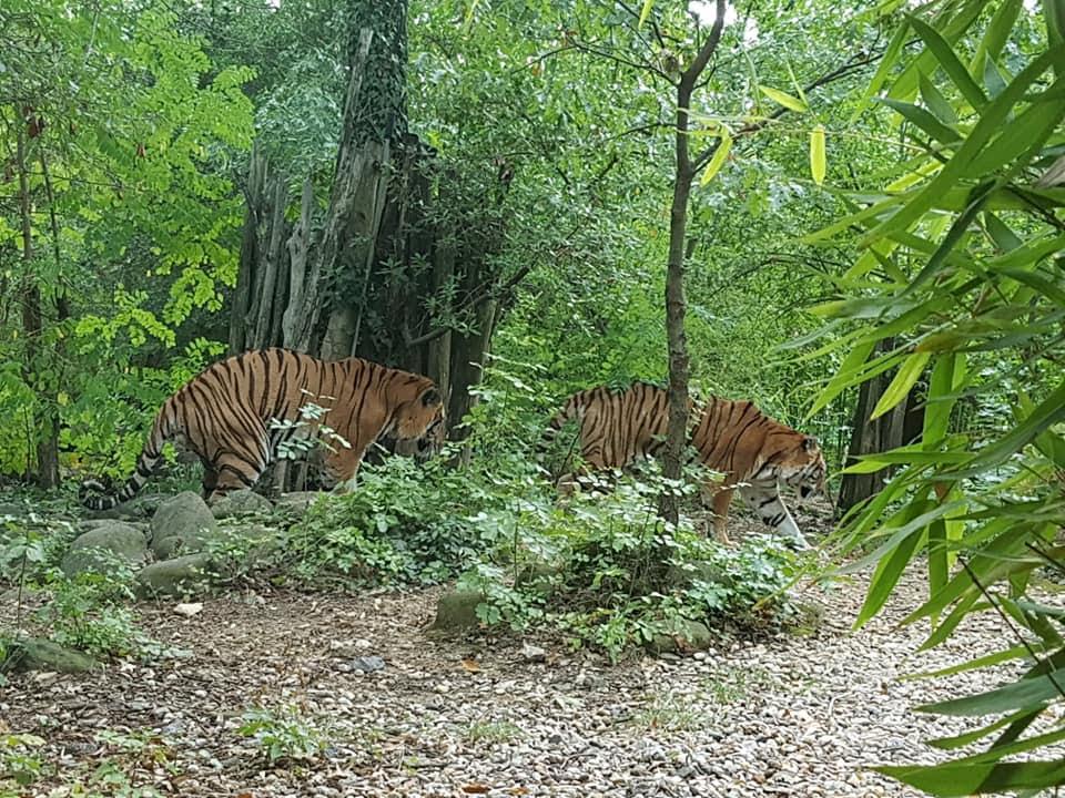 tigri-zoo-di-pistoia